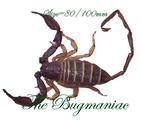 Arachnidae : Hadogenes paucidens