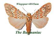 Arctiidae : Barsine orientalis bigamica