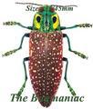 Buprestidae : Lampropepla rothschildi