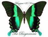 Papilionidae : Achillides blumei fruhstorferi