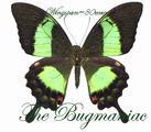 Papilionidae : Achillides palinurus vega