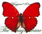 Nymphalidae : Cymothoe excelsa