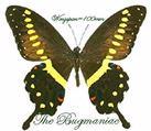 Papilionidae : Papilio lormieri