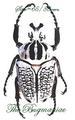 Cetonidae : Goliathus orientalis  90/94mm