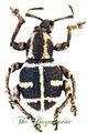 Curculionidae : Neopyrgops banksi