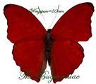 Nymphalidae : Cymothoe coccinata