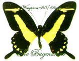 Papilionidae : Heraclides torquatus