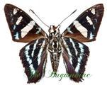Hesperidae : Phocides metrodorus