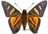 Hesperidae : Phocides yokhara
