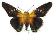 Hesperidae : Proteides mercurius mercurius
