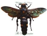 Hymenoptera : Megascolia procer javanensis PAIR