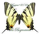 Papilionidae : Iphlidis podalirius podalirius