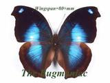 Nymphalidae : Napeocles jucunda