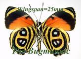 Nymphalidae : Paulogramma pyracmon peristera
