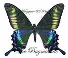 Papilionidae : Achillides maacki maacki summer form