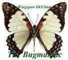 Papilionidae : Graphium endochus