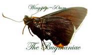 Hesperidae : Pyrrhopyge scylla