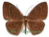 Riodinidae : Eurybia elvina
