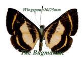 Riodinidae : Baeotis bacaenita