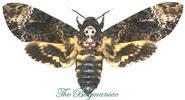 Sphingidae : Acheronta lachesis lachesis