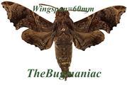 Sphingidae : Enyo lugubris
