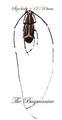 Anthribidae : Xenocerus puncticollis f